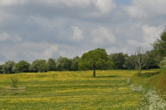 Buttercups and May Blossom